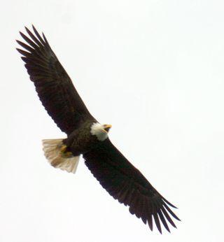 Eagle jan 28-1