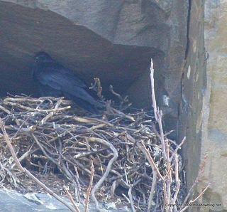 Raven on nest