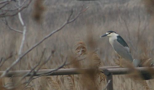 NIght Heron 004