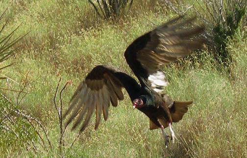 Ruth turkey_hawk_taking_off_cpd_toned