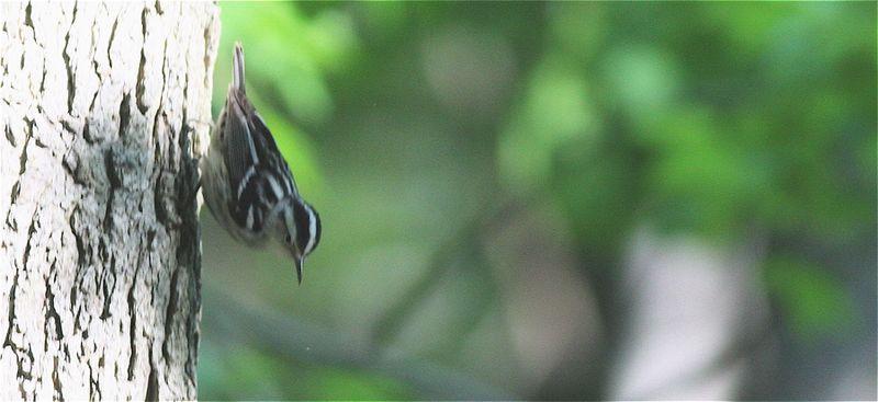 Bw warbler 051009