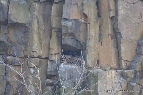 Raven nest distant