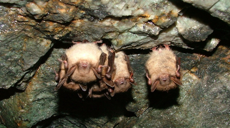 Little_brown_bats-1