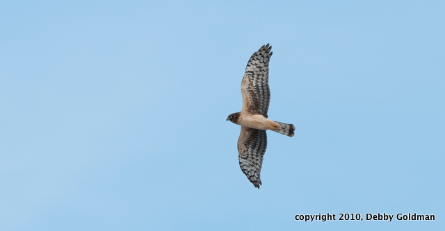 Northern harrier - disposal road (1 of 1)(3)-2