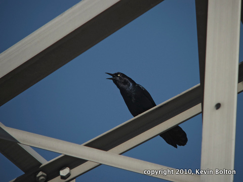 IMG_4726 Boat Tailed Grackle 1(3)-1