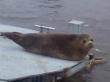 Seal on dock