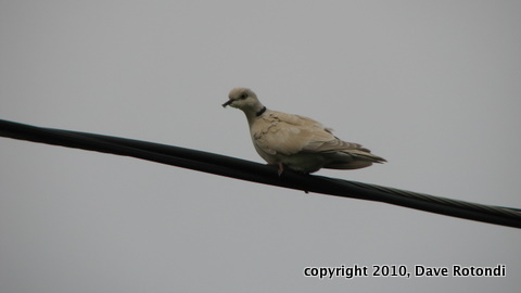 Eurasian Collared Dove 5-30-11