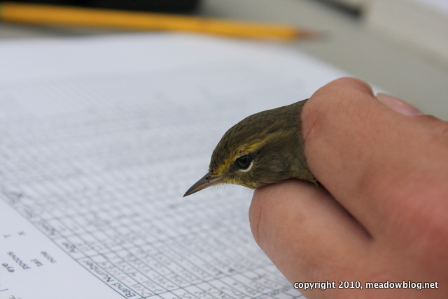 Warbler at banding table