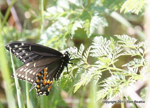DeKorte11_0238-Black_Swallowtail