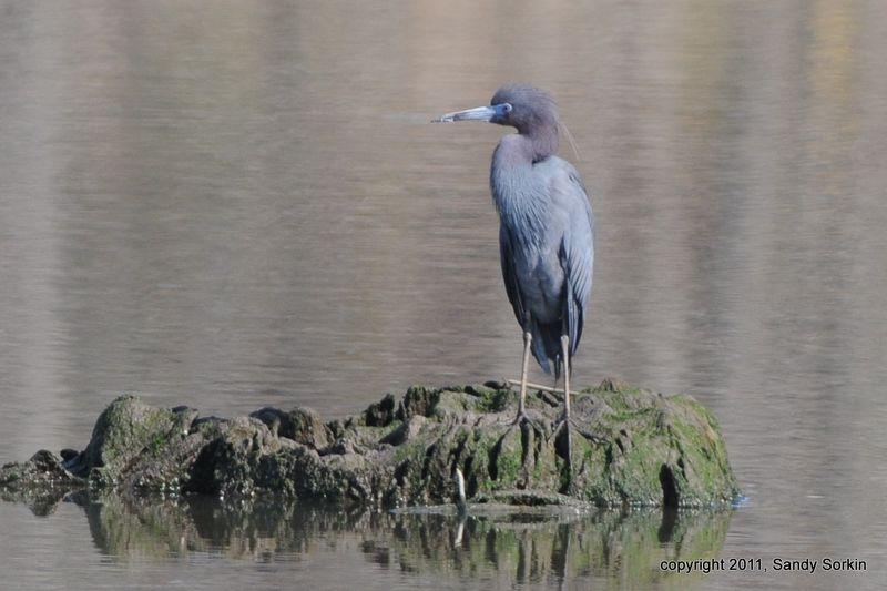 SS3_5524 Little Blue Heron