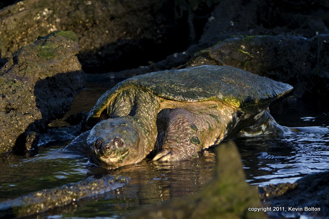 20110702_7006Snapping Turtle 1