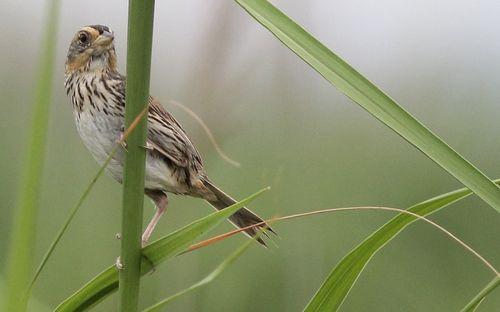 Saltmarsh sparrow JW
