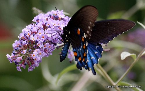 P swallowtail-1