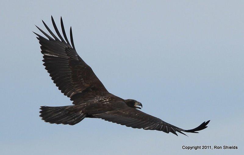 Bald Eagle 1-1