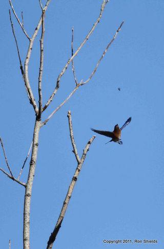 Bluebird 2-1
