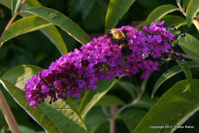 I Hummingbird Moth 001dE RchrdDKorte Park Mdwlnds NJ 071011 OK-2