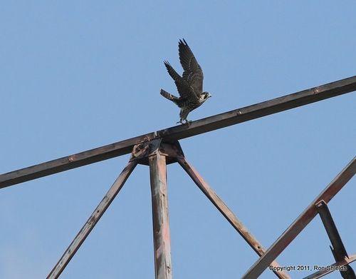 Peregrine Falcon 1-1