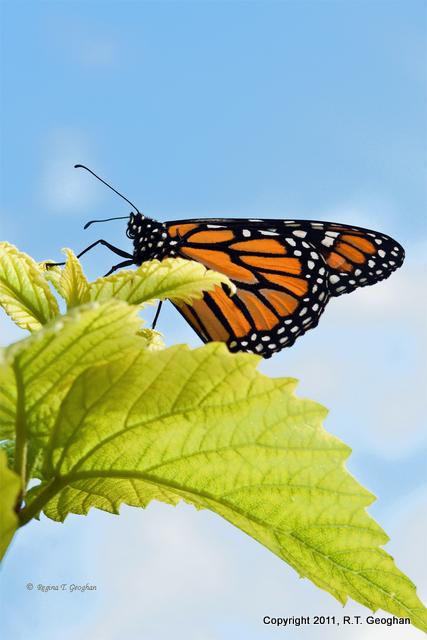 Sept 8_Monarch SM_0389