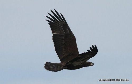Bald Eagle 3-2