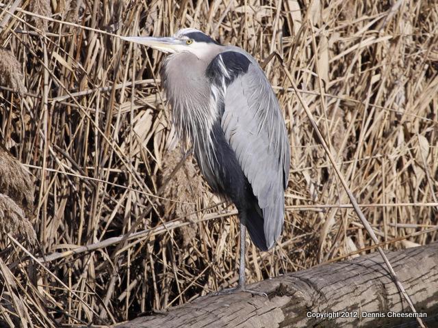 Blue heron-2