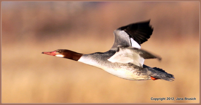 Common Merganser Female11-1