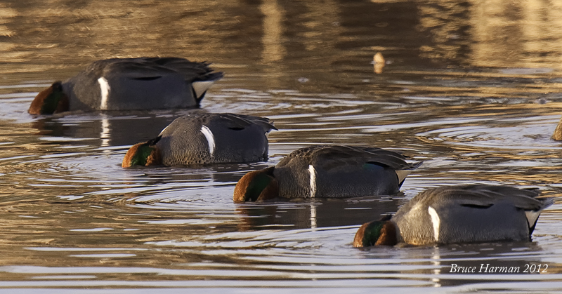 Green winged Teal_ Synchronized Feeding Team