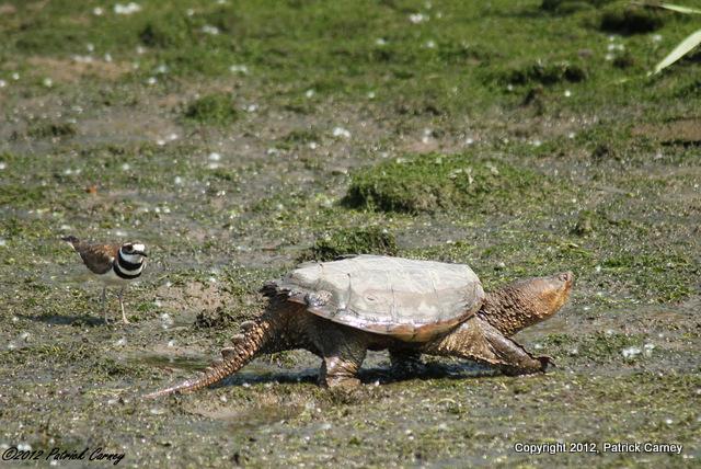 Dekorte Snapping Turtle 129