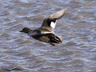 American black duck-1