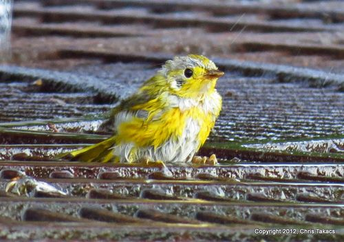 Yellow Warbler young