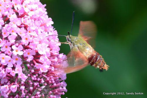 SS7_9152 Hummingbird Moth