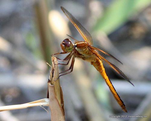 Dragonfly NJMCMG_9940-001