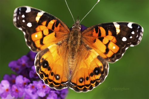 July 16_Butterfly Amerian LadySM_RTGeoghan_0735