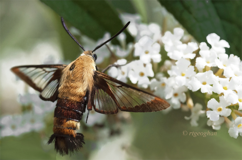 1-August 9_Clear-winged Spinx Moth_RTGeoghan_0459