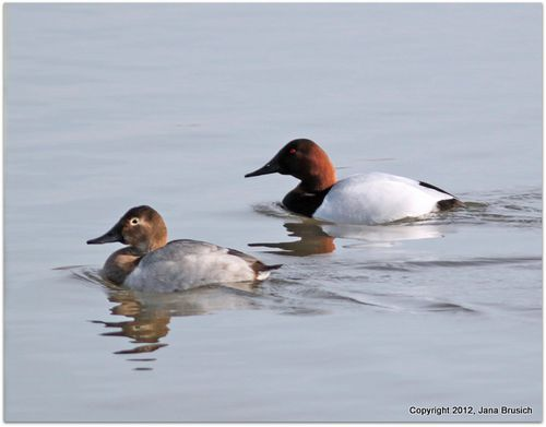 Canvasback Couple-1
