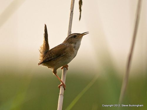 Buckingham Marsh Wren