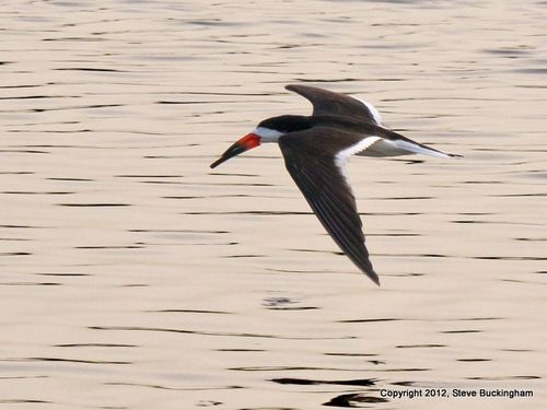 Buckingham Black Skimmer