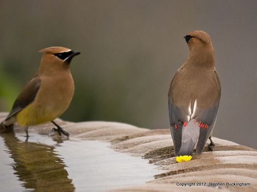 Waxwings buckingham