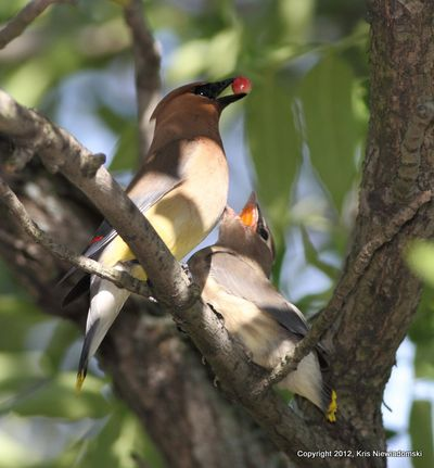 Cedar Waxwing Please Let Me Have It
