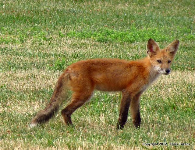 Fox-002
