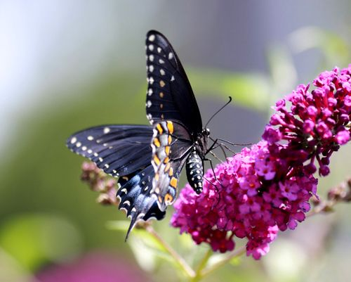 Black Swallowtail JW_2774-001