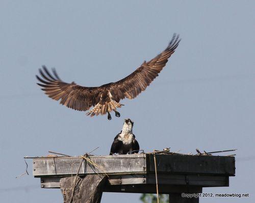 1-Osprey nest JW NJMC