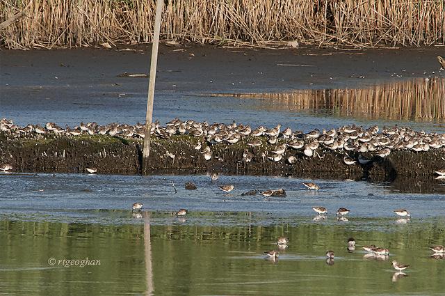 August 1_Shorebirds DeKorte_RTGeogha_1379-001