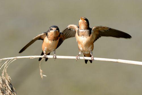 SS8_4091 Barn Swallow-001