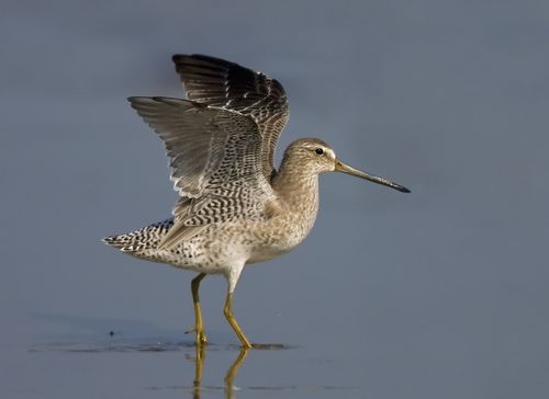 1-Short-billed Dowitcher, nonbreeding wing raise, TX, Sep large