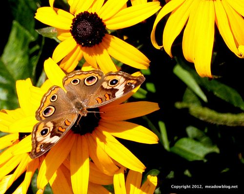Common Buckeye_2686