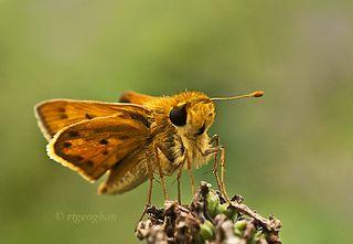 1-August 5_Butterfly Fiery SkipperSM_RTGeoghan_0126