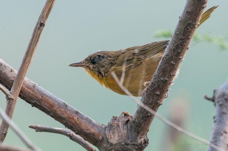 Roy mysterybird