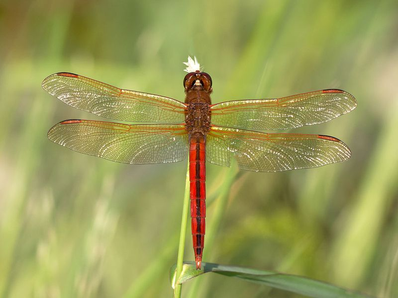 Buckingham needham's dragonfly
