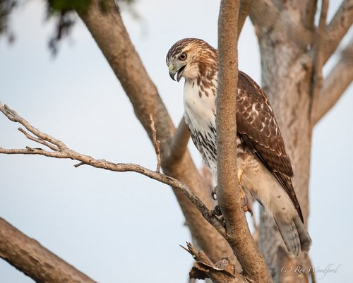 Woodford redtail