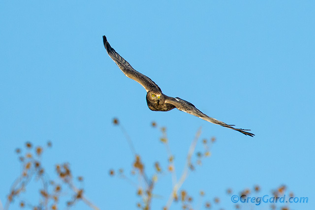 Northern-harrier-gray-ghost-dekorte-greg-gard-20121022-_MG_5473 copy